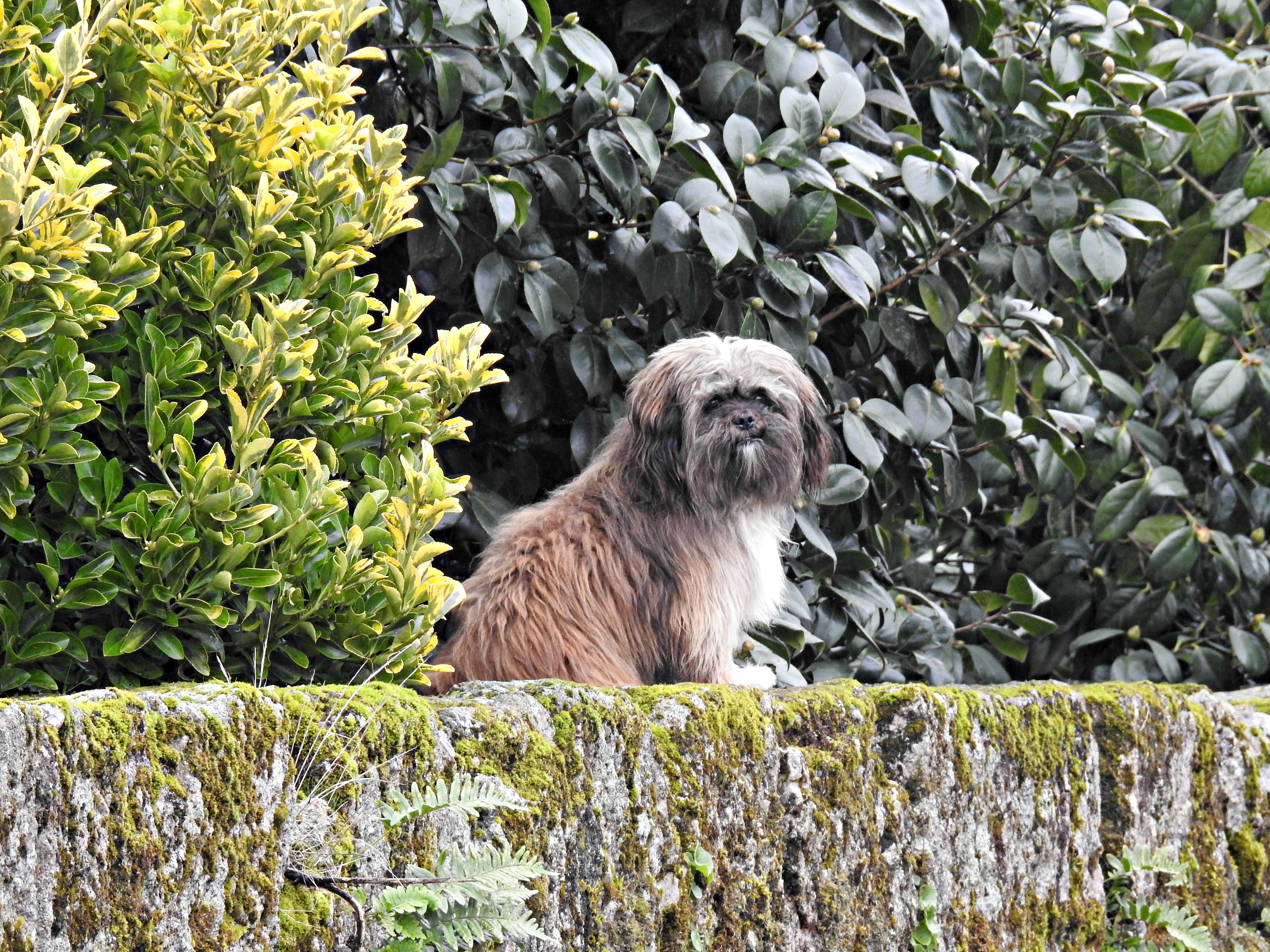 Un cadeliño de Castroverde