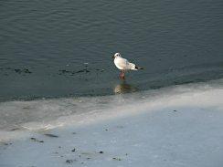 Gaivota no Danubio